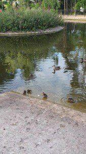 ducklings still